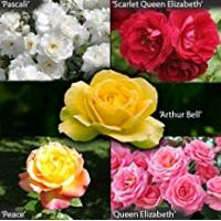 Roses Garden Glamour Rose Bush Collection in 5 Varieties bare root
